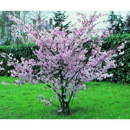 Accolade Bare Root Flowering Cherry Homebase Ornamental Trees Landscape Garden