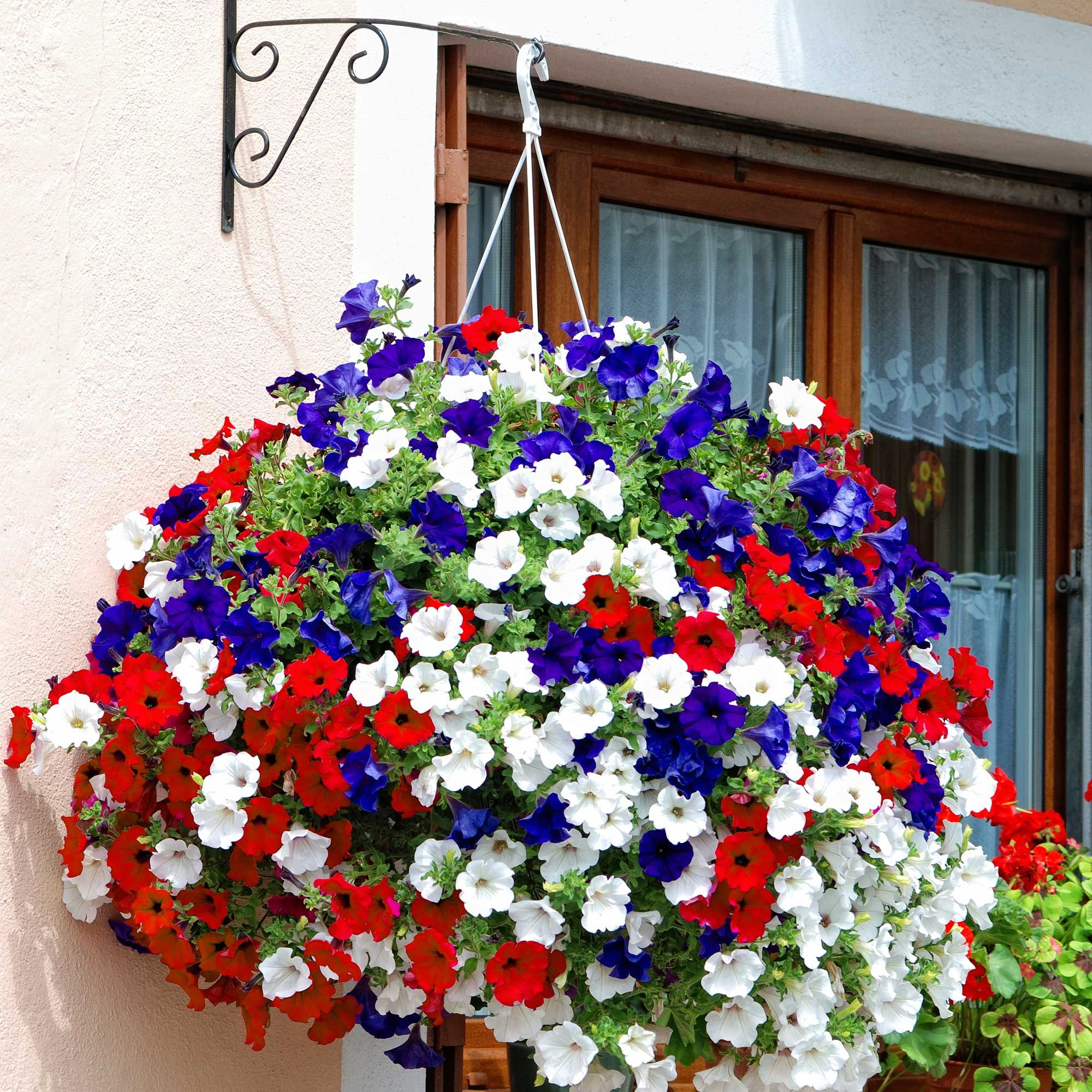 red white and blue hanging basket in my garden