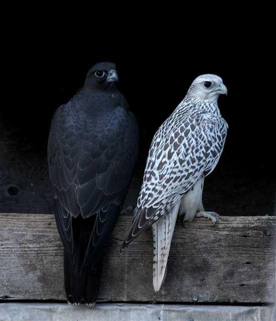صقر الجير منتديات مكشات Beautiful Birds Animals Animals Beautiful