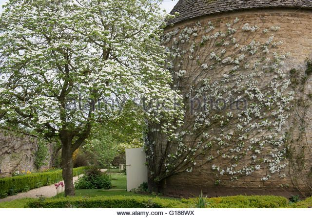 Image Result For Espalier Fig Tree