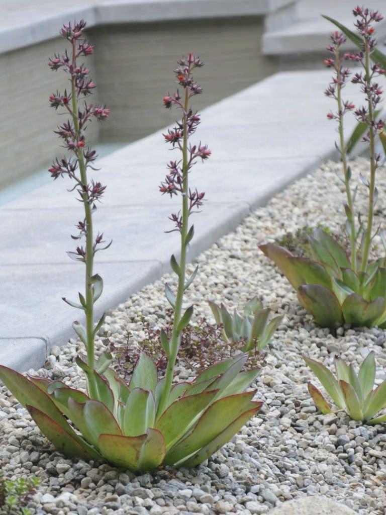 Echeveria Subrigida Fire And Ice Red Edge Echeveria World Of Succulents Echeveria Blooming Succulents Planting Succulents