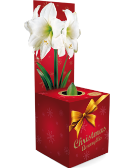 € 5,99 (incl. btw) Amaryllis Intokazi maat 24/26 in een geschenkdoos. Op de doos is een mooie grote gouden strik gedrukt om er een extra kerst gevoel aan te geven.