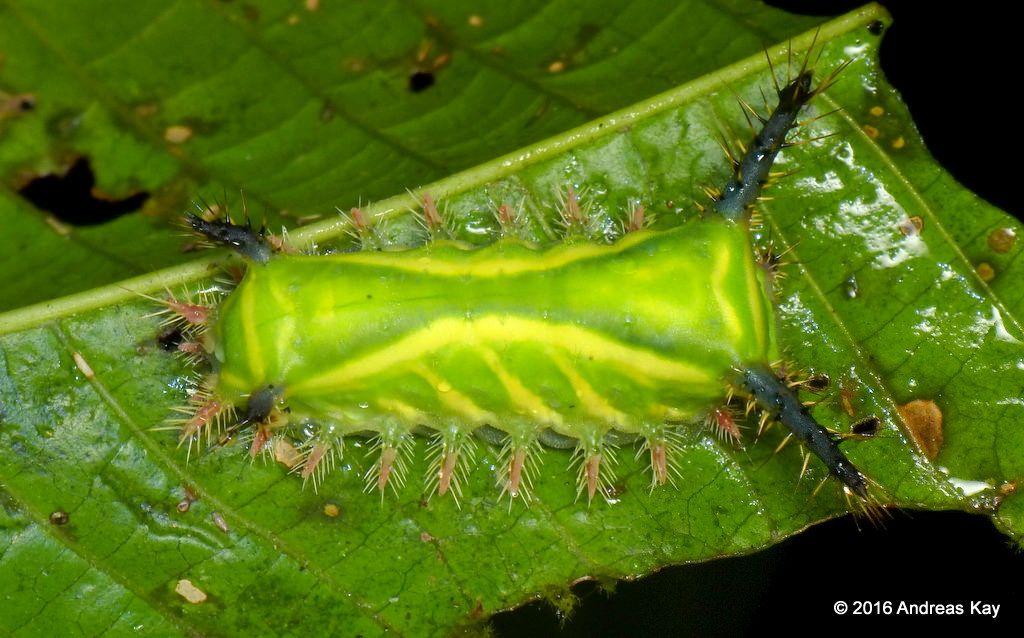 https://flic.kr/p/LGkg6r   Stinging Nettle Slug Caterpillar, Limacodidae   from…