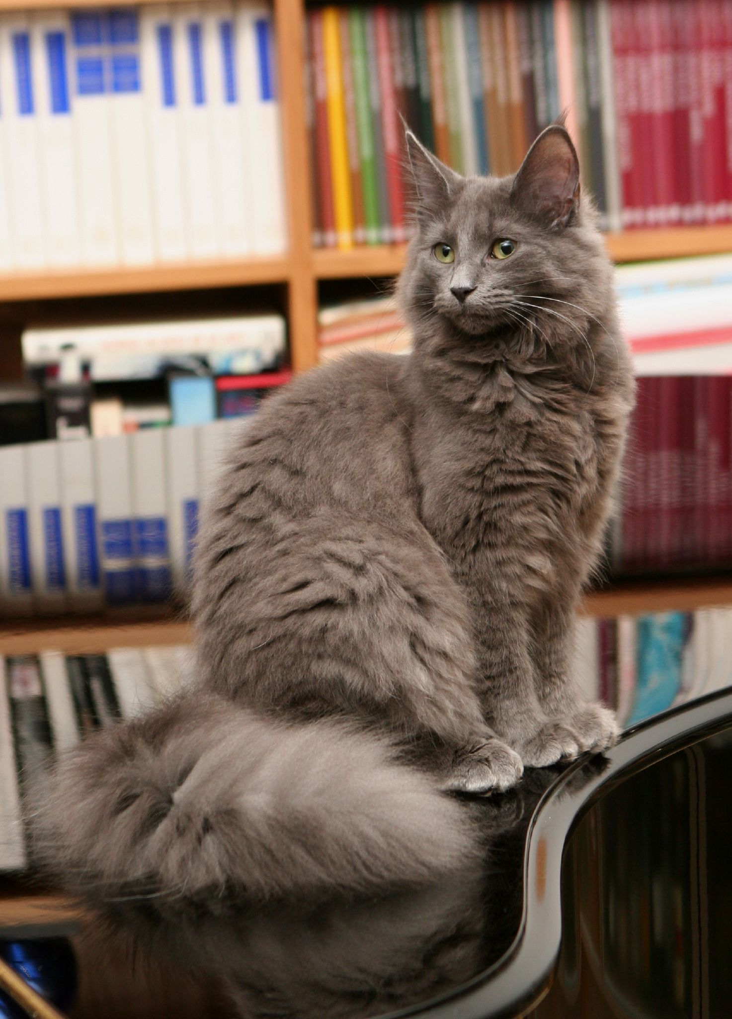 Norwegian Forest Cat looks like a really fluffy wolf