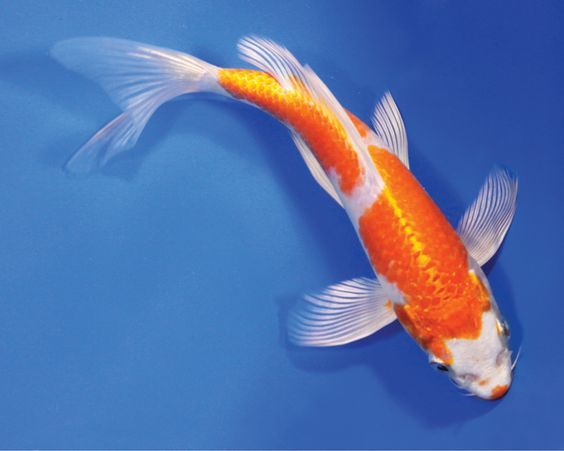 Butterfly koi fish live hariwake butterfly koi fish for Koi und goldfisch