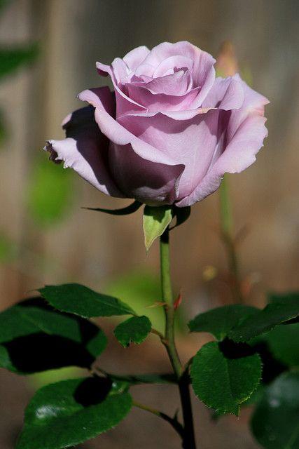 ~ Sterling Silver Rose ~