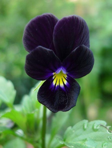 Bowles Black Viola Pansies Flowers Beautiful Flowers Black Flowers
