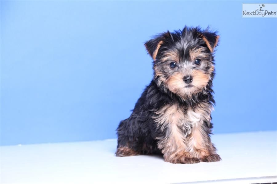 Yorkie Yorkshire Terrier Puppies For Sale In Iowa Adoptapet Com Yorkshire Terrier Puppies Yorkie Yorkshire Terrier