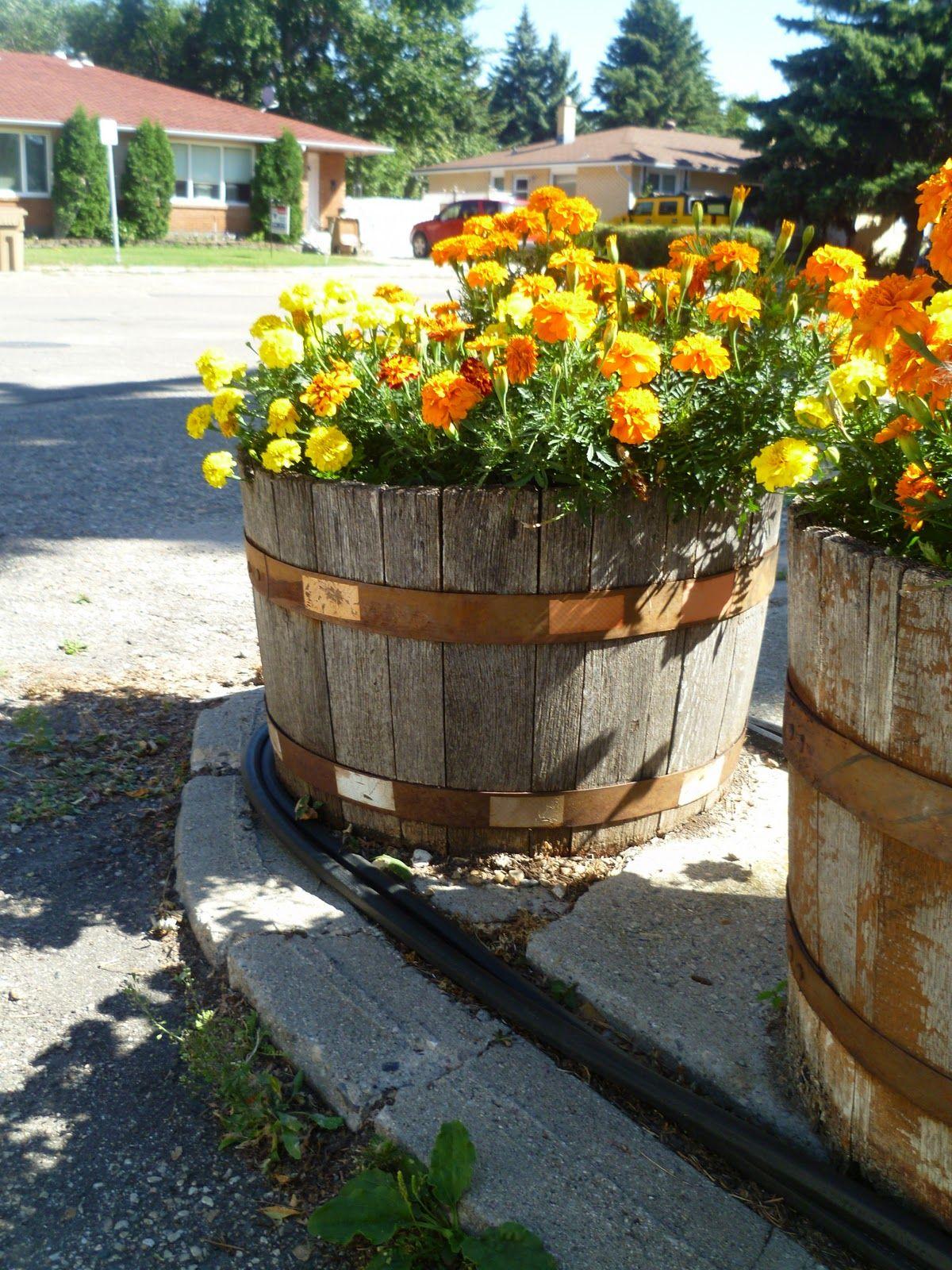 Marigold Barrels