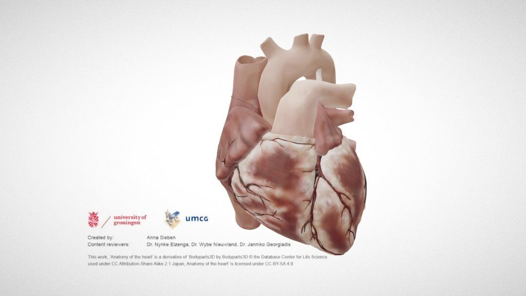 Labelled 3D model of the external anatomy of the heart (part of a ...
