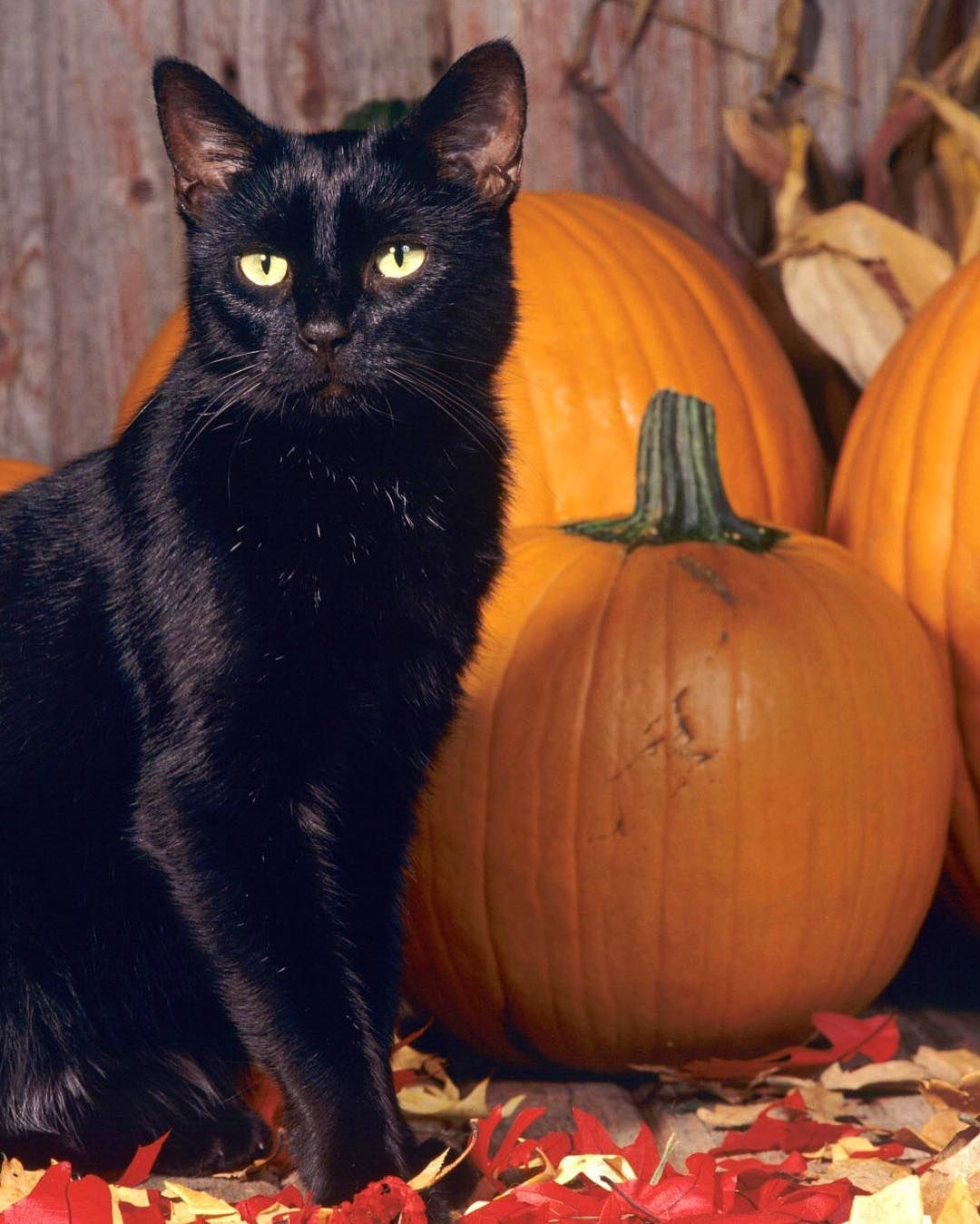 702 Likes 17 Comments Spellboundsky On Instagram Hello Friday Halloween Names For Cats Halloween Cat Fall Cats