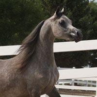 Oak Ridge Arabians - Sale Horses