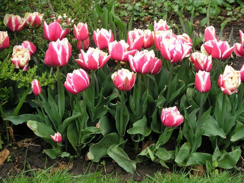 Blumenzwiebeln Pflanzen So Geht S Richtig Blumenzwiebeln Pflanzen Blumenzwiebeln Tulpen Pflanzen