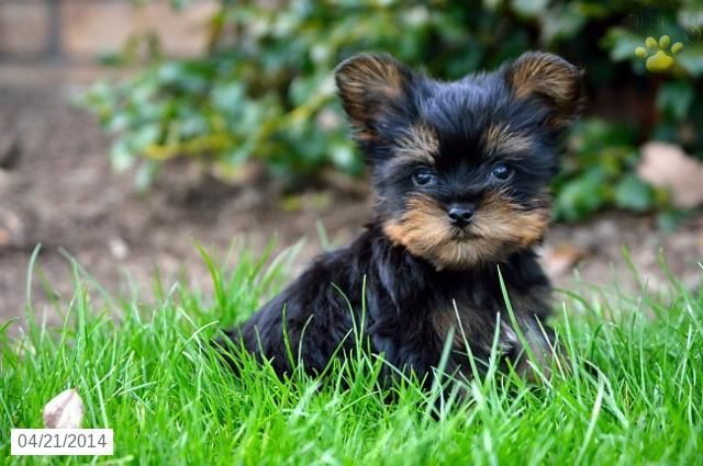 Yorkshire Terrier Puppy For Sale In Ohio Yorkshire Terrier Puppies Yorkshire Terrier Puppies For Sale