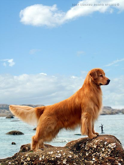 Pin Auf Golden Retriever