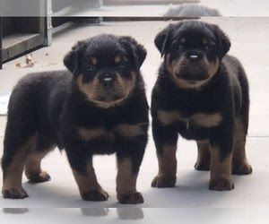 View Ad Rottweiler Puppy For Sale Near California Beverly