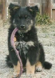 Adopt Kapok Nj On Dogs Up For Adoption Australian Shepherd Dogs Australian Shepherd