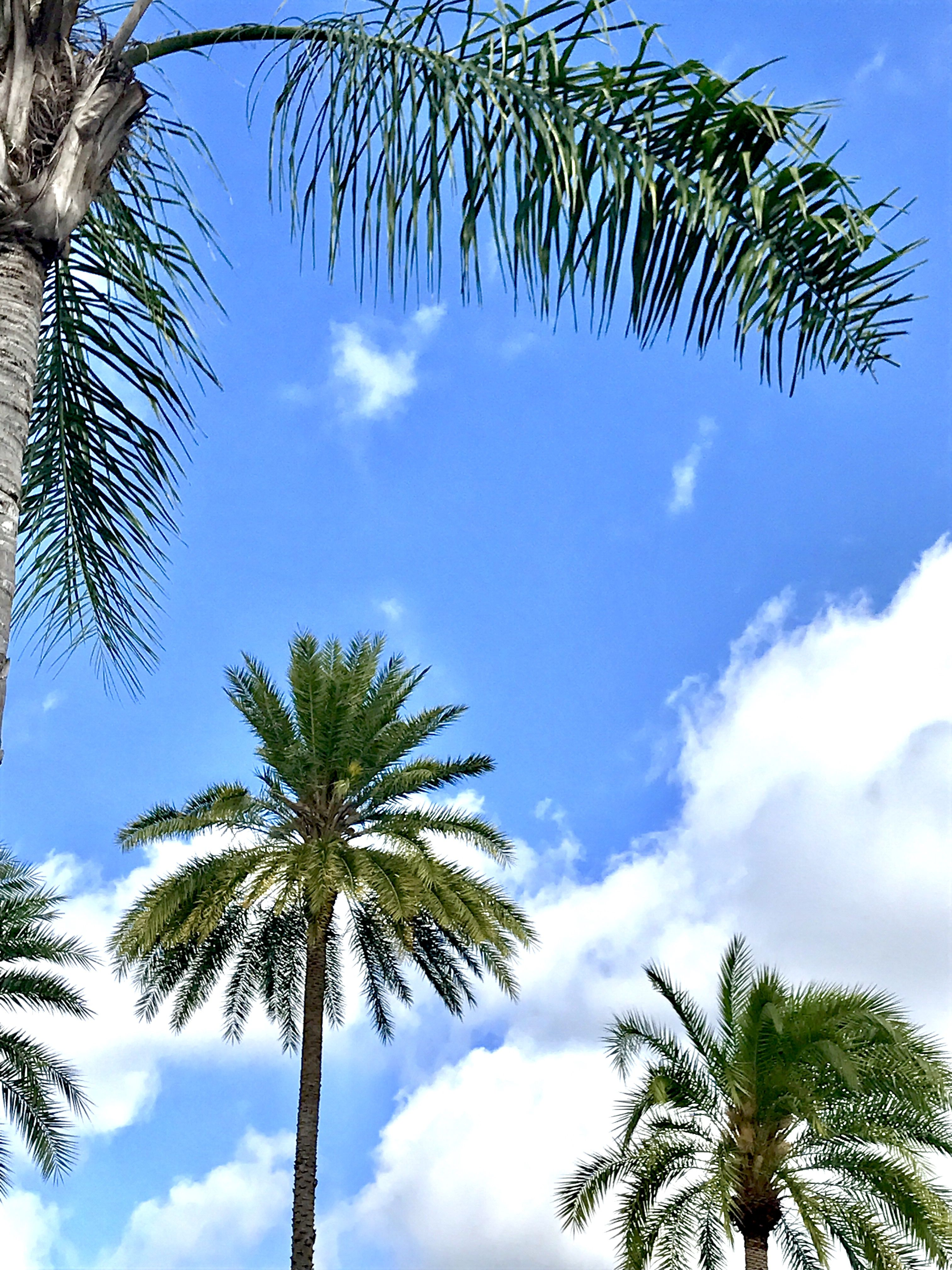 Palm trees in Winter Park Florida