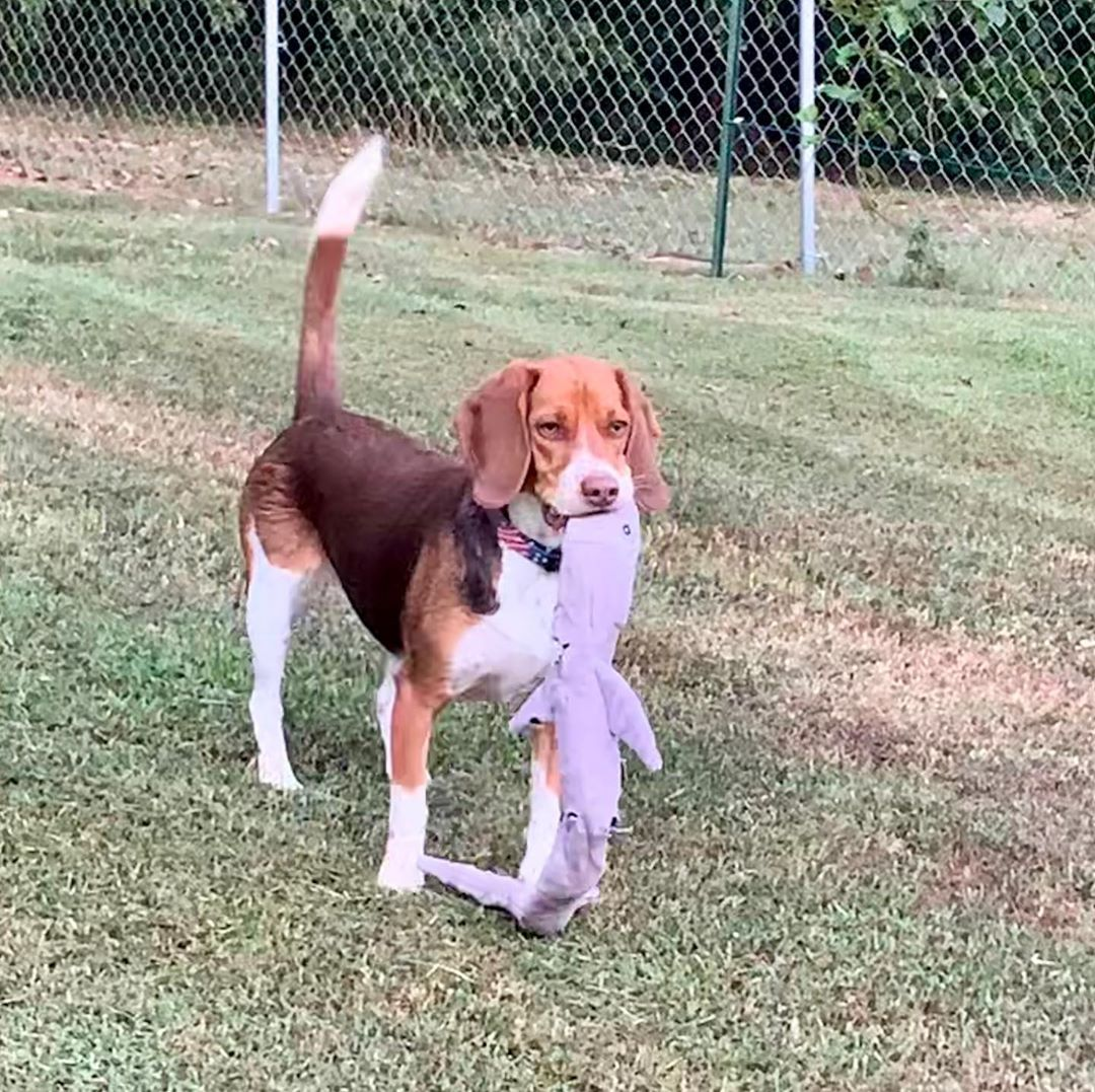 Who S Going To Play With Me Shelbylynn Beagle Playtime