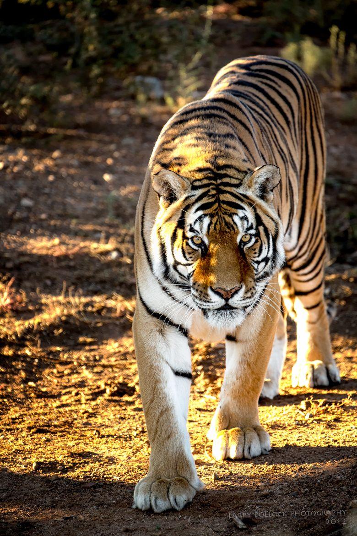 Bengal Tiger animal art portraits, photographs