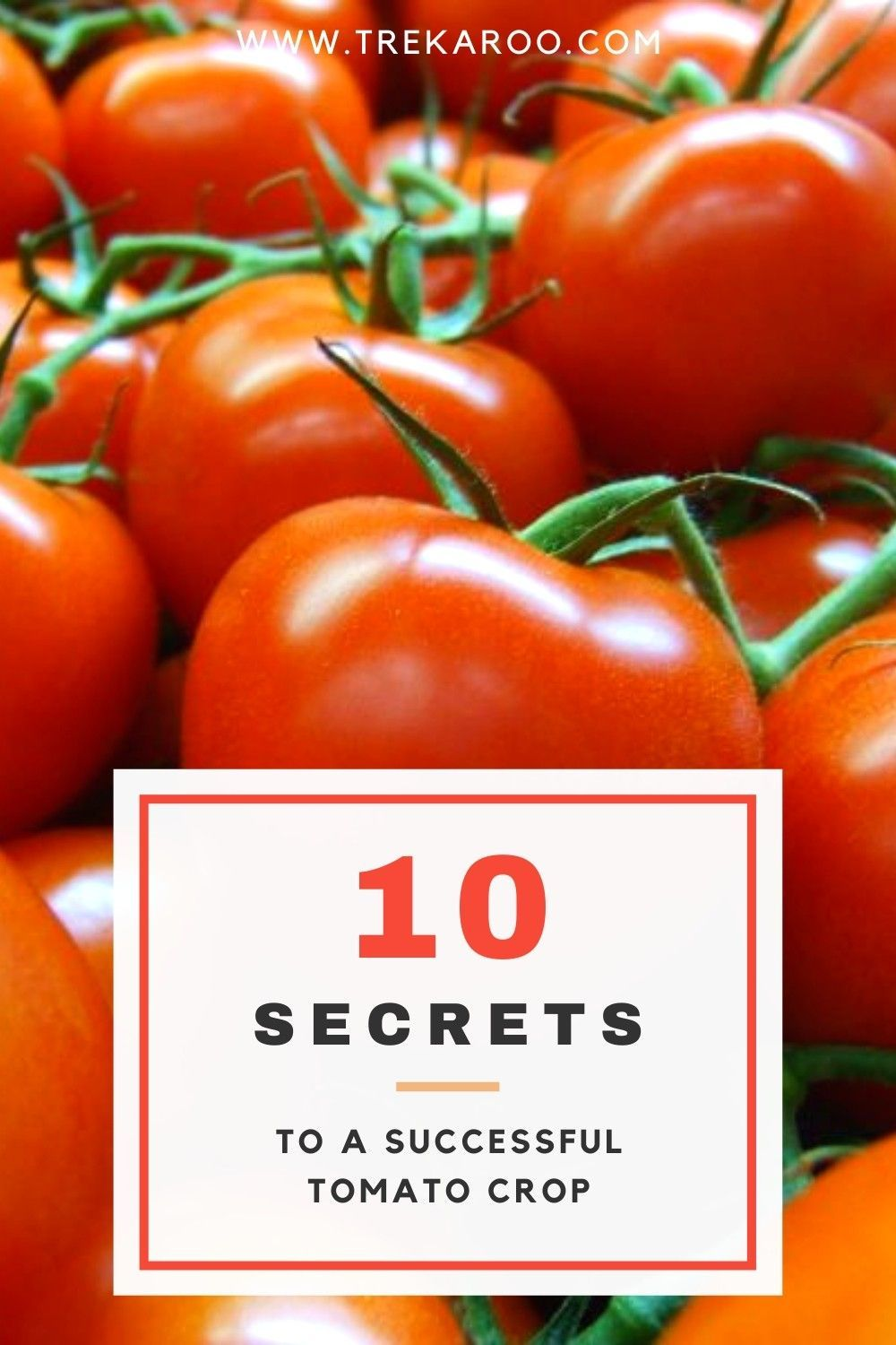 Tomato Growing Tips 10 Secrets To A Successful Tomato Crop