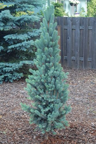 Columnar Blue Spruce Dwarf Evergreen Trees