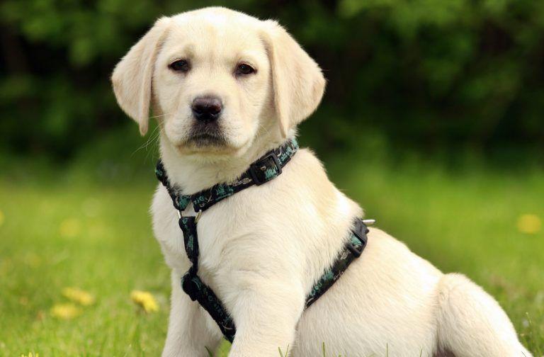 Dog Calming How To Calm Down A Dog And Make Your Lab Less Excited Calm Dogs Labrador Puppy Labrador Retriever