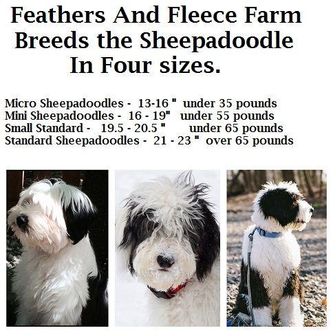 Polish Lowland Sheepdog Like Paul Anka On Gilmore S Hypoallergenic