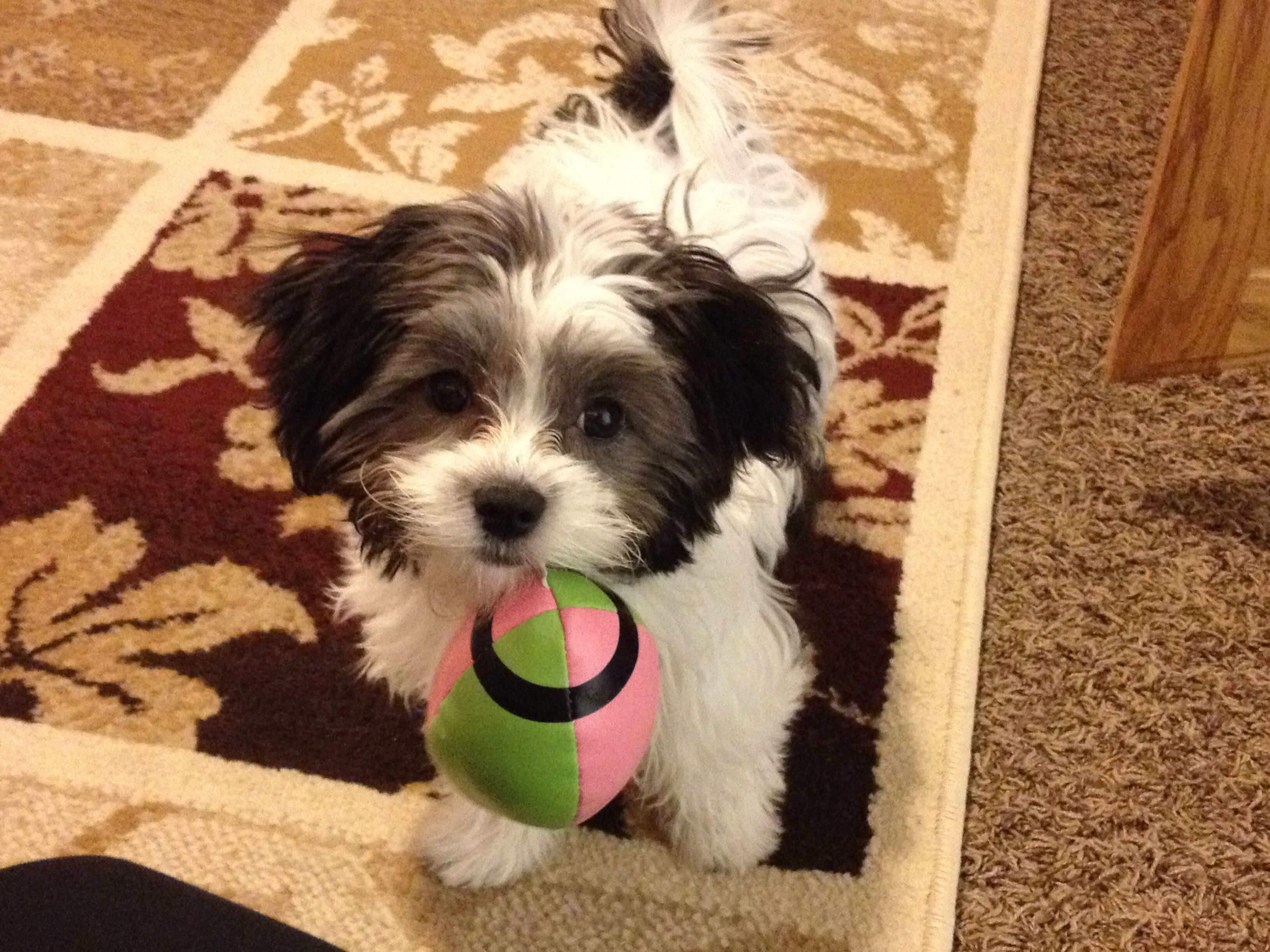 Sweet Chevy Black And White Maltipoo Designer Dogs Breeds