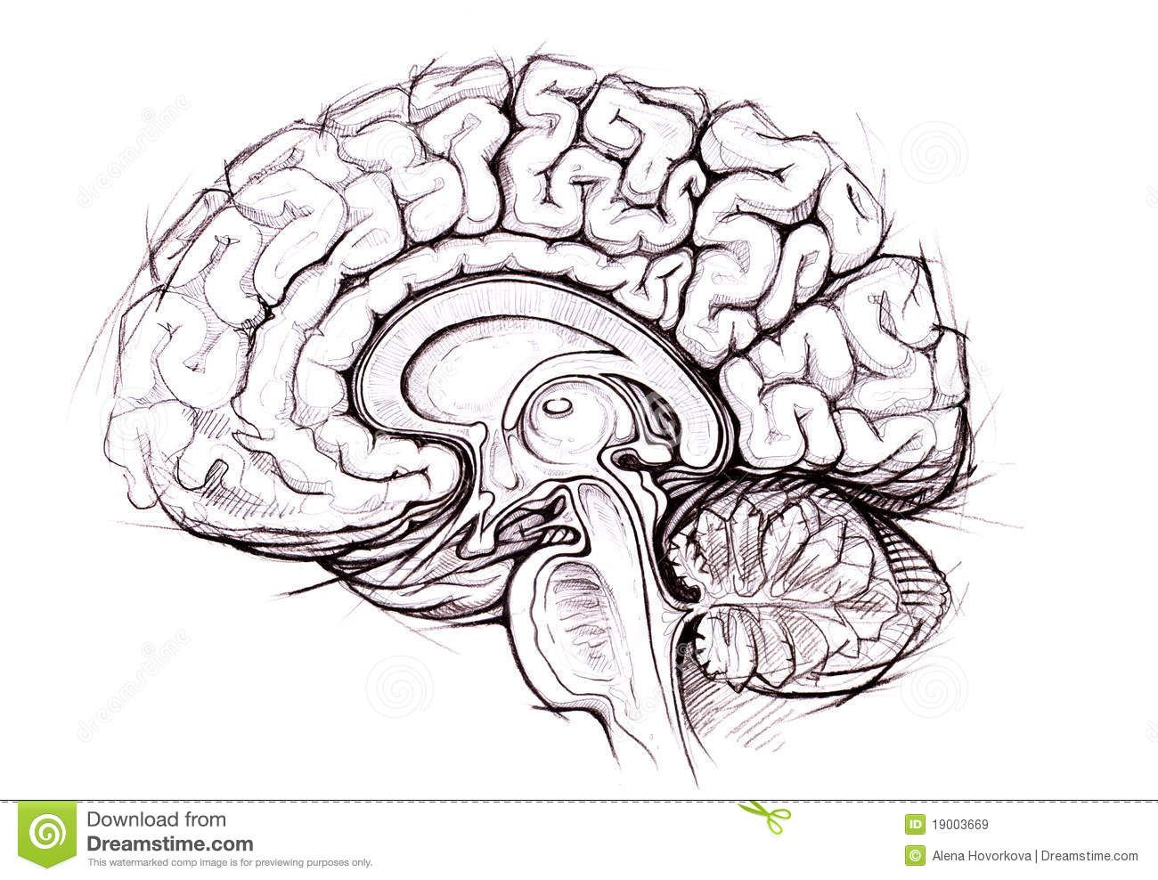 Head Brain Diagram Blank - Block And Schematic Diagrams •