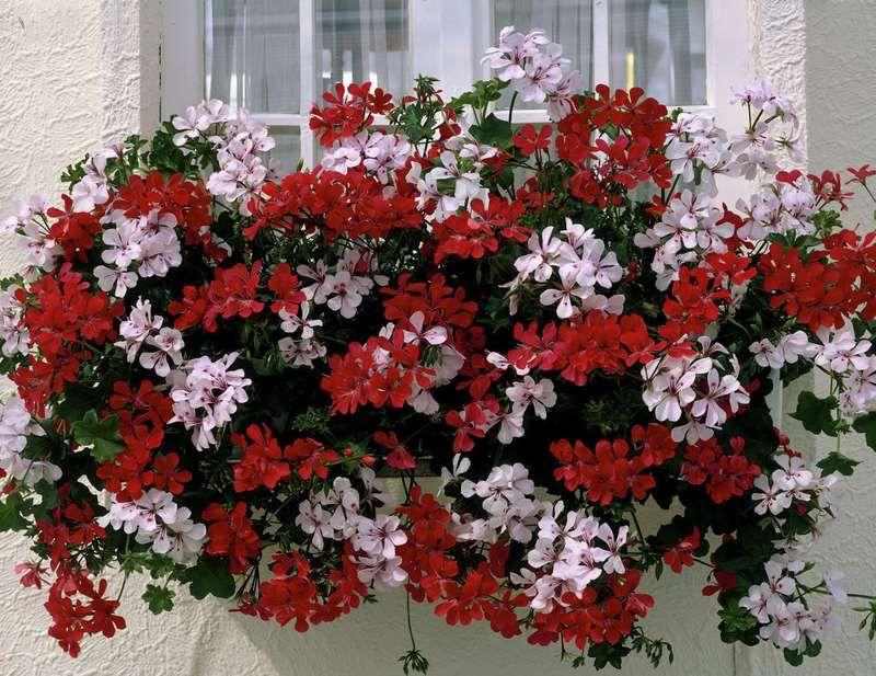 G 233 Ranium P 233 Largonium G 233 Ranium Fleur Jardiniere
