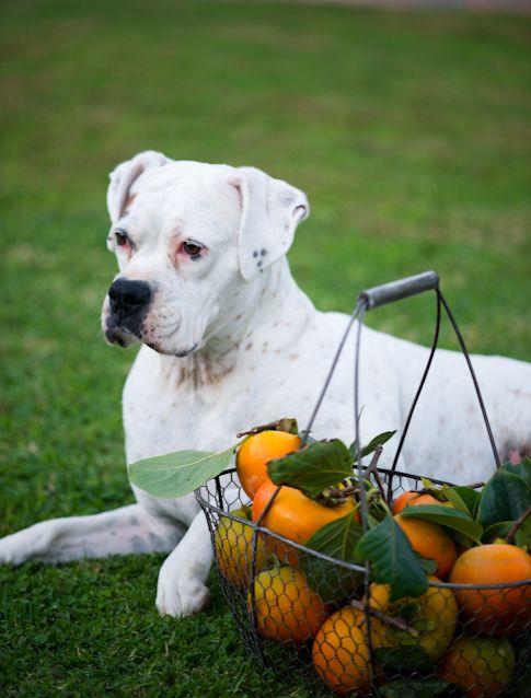 Persimmon Fool W Dark Rum Recipe American Bulldog Puppies