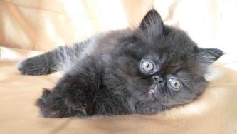 Victorian Gardens Cattery Cfa Registered Extreme Face And Traditional Doll Face Persian Kittens Him Himalayan Kitten Persian Kittens Persian Kittens For Sale