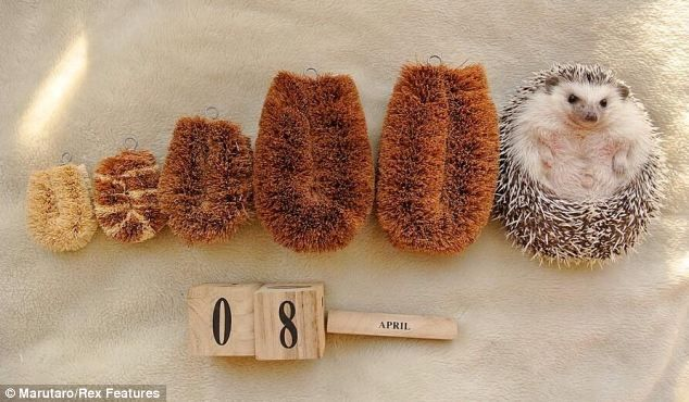 It might look like a scrubbing brush but it is really Marutaro, the star hedgehog