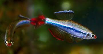 Sparkle Eye White Cloud Mountain Minnow Coldwater Fish Tropical Freshwater Fish Beautiful Fish