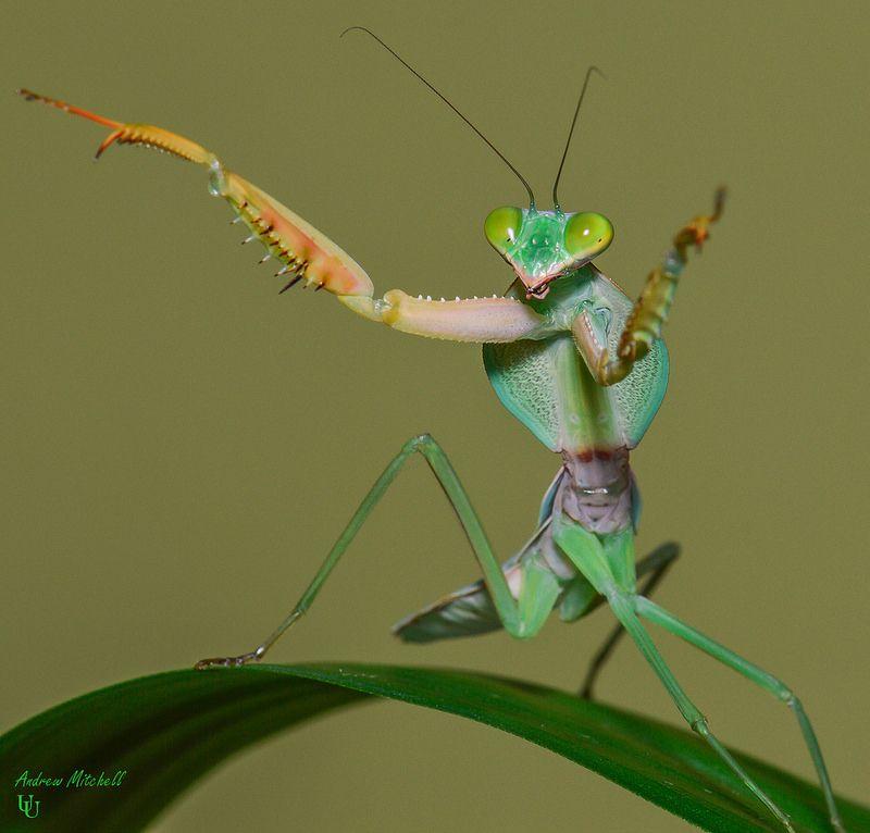 Rhombodera Basalis Giant Malaysian Shield Mantis 7th Instar Cool Insects Praying Mantis Animals Beautiful