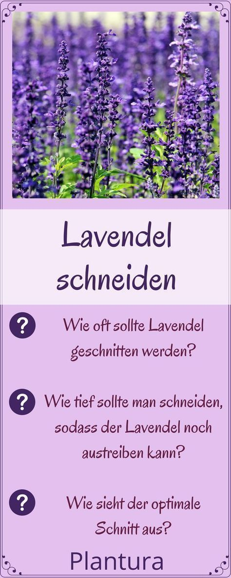 lavendel schneiden wann und wie zur ckschneiden garten pinterest lavendel richtiger und. Black Bedroom Furniture Sets. Home Design Ideas