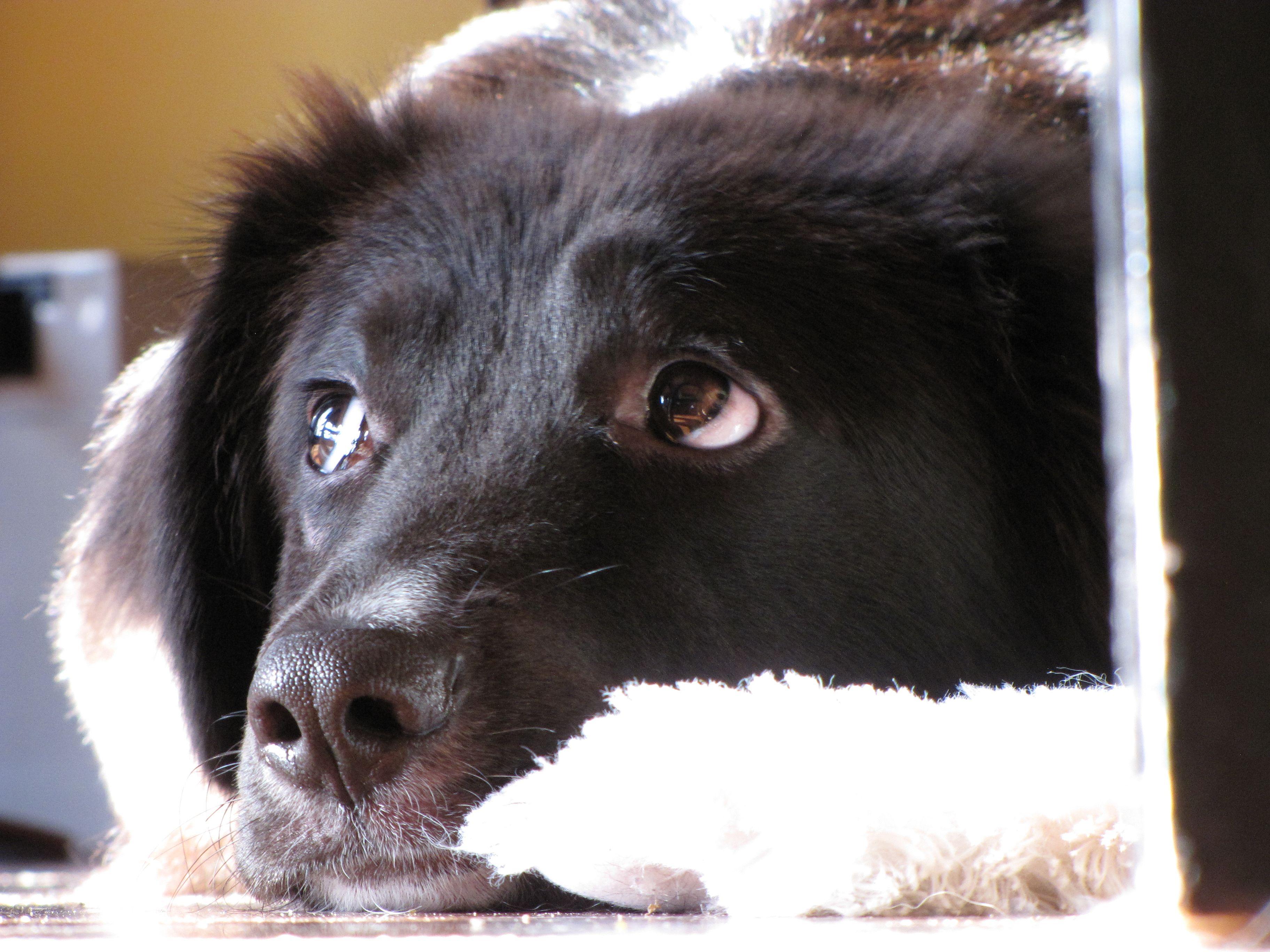 Bungie A 6 Months Old Border Collie Golden Retriever Mix Black