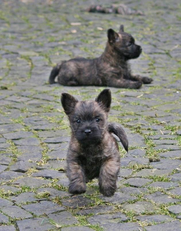 Puppies Cairn Terrier Puppies Terrier Puppies Puppies