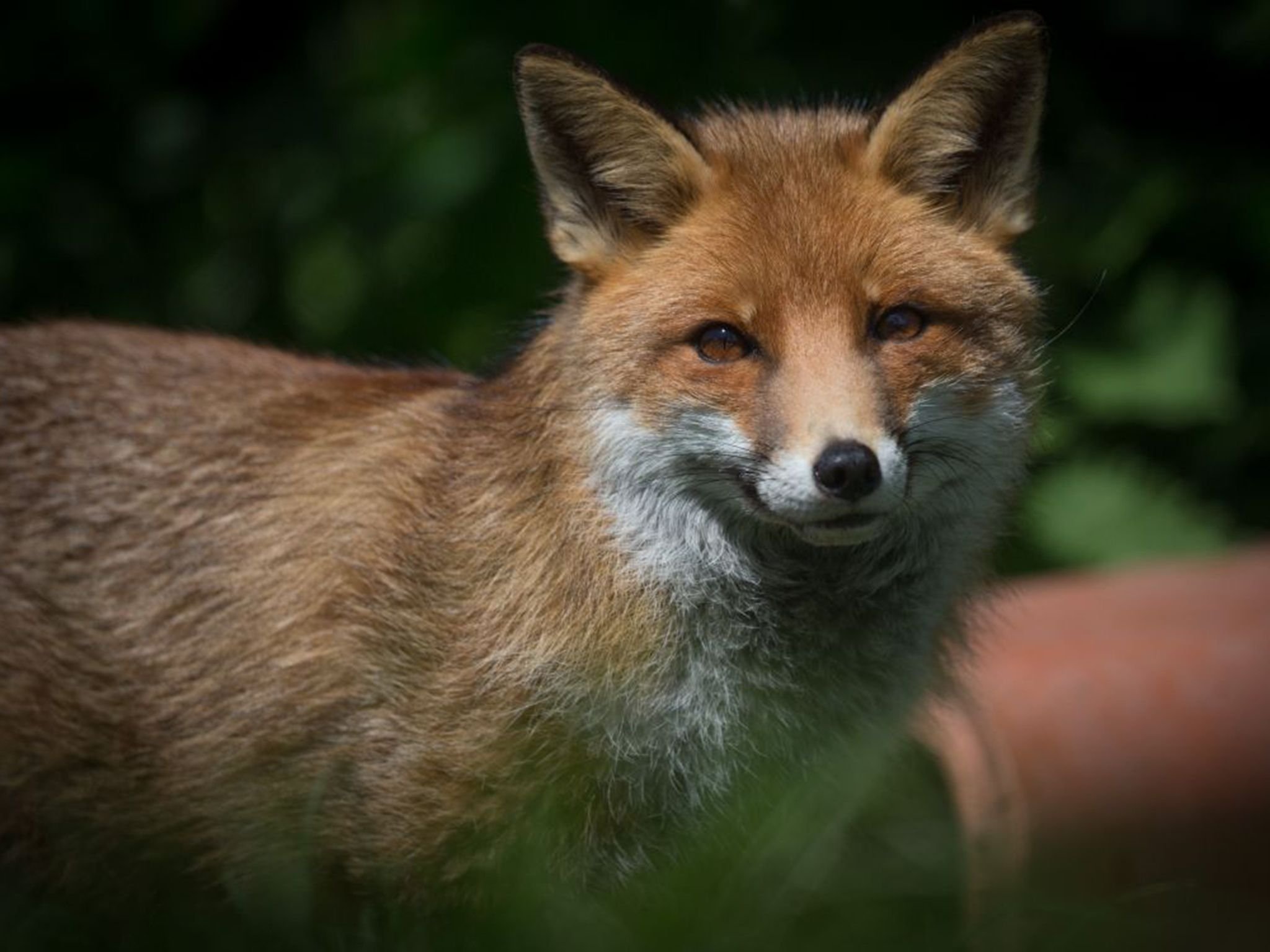 Uk S New Environment Secretary Andrea Leadsom Backs Fox Hunting Selling Off Forests Amp Opposes Climate Change Measures Followme Fox Hunting Fox Cite Animals