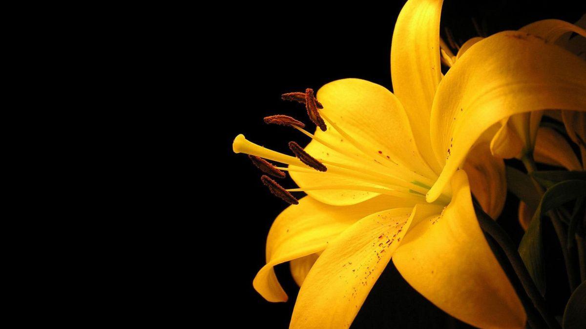 Latest Flowers Wallpapers Hd Full Hd 1080p 9 Hd Yellow Flower Wallpaper Yellow Lillies Yellow Lily