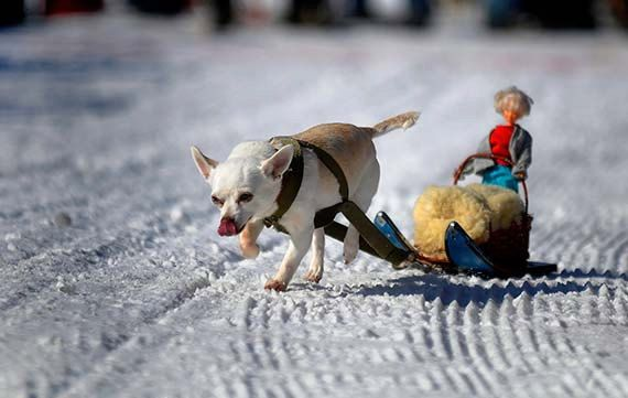 Pictures Of Dog On Sled