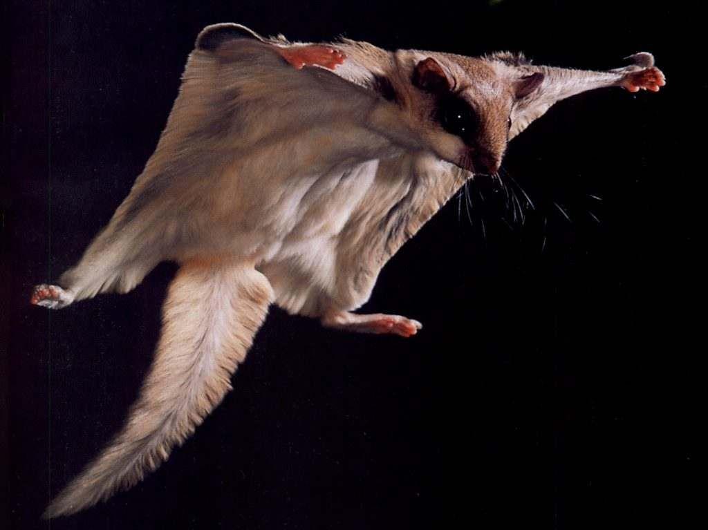 фото белка летяга в полете светолюбивое