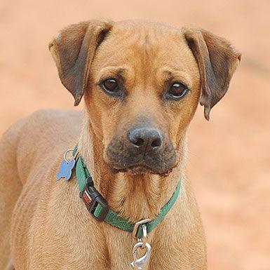 Boxer dog for Adoption in Kanab, UT. ADN516983 on