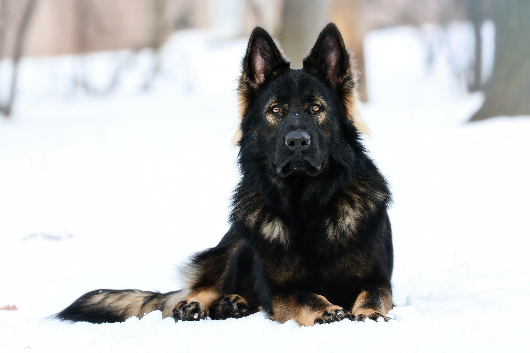 Long Coat Black Sable Ddr German Shepherd Germanshepherd German
