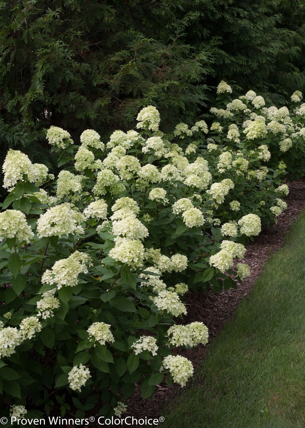 front of the house hydrangea paniculata 39 bobo. Black Bedroom Furniture Sets. Home Design Ideas