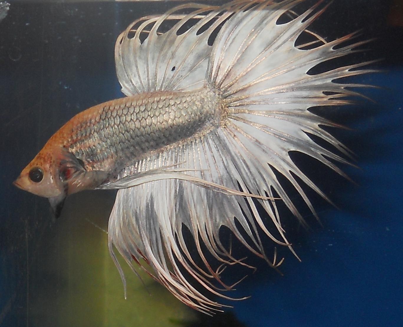 63 best aquarium betta fish images on pinterest aquariums