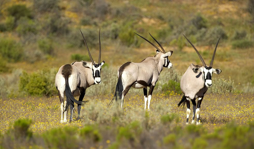 The Beautiful and elegant Gemsbok also known as the Oryx can be seen at Bushmans Kloof Retreat in the Western Cape, close to Cape Town