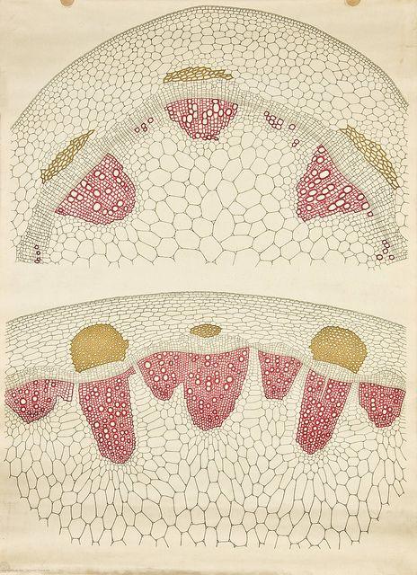 Dicot stem cross-section -- Anatomia Vegetal 1929, pub. by FE ...