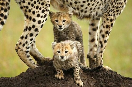 Cute little #cheetah cubs on the termite mound with mom. #Africa #kidsonsafari